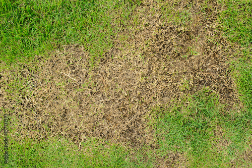 Deurstickers Droogte Pests and disease cause amount of damage to green lawns, lawn in bad condition and need maintaining