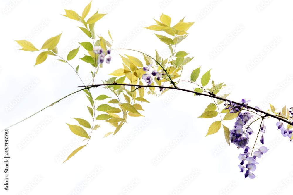 Fototapeta wisteria flowers isolated on white background