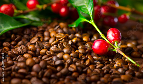 Fototapeta Coffee. Real coffee plant with red beans on roasted coffee beans background  obraz