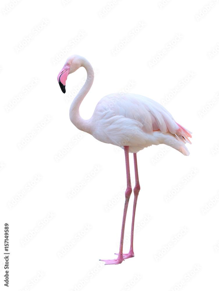greater flamingo isolated on white background