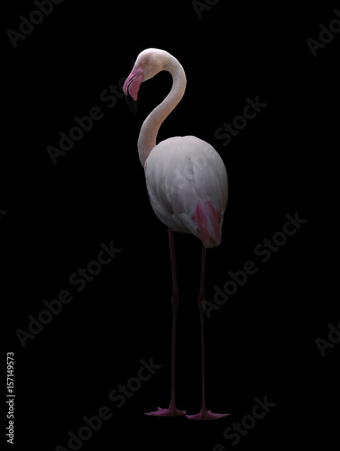 greater flamingo standing in the dark