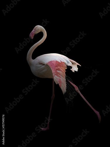 greater flamingo standing in the dark