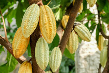 Cocoa Tree With Pods.Used As Food And Drink.