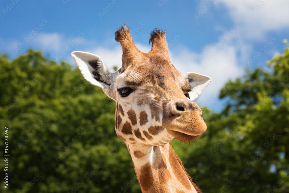 Giraffe portrait front view