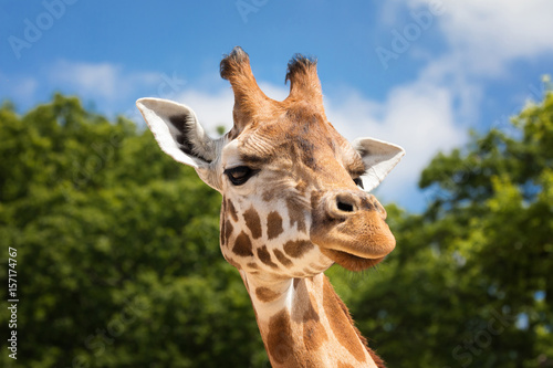 Photo  Giraffe portrait front view