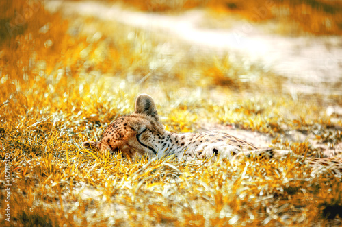 The young cheetah fell asleep in the grass.