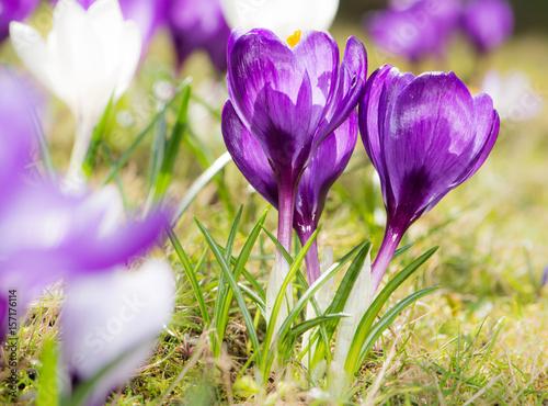 Foto op Plexiglas Krokussen Purple crocus flowers in spring