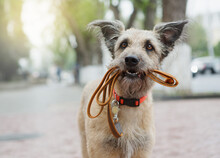 A Funny Dog With Sad Eyes Is Holding A Leash In His Mouth And Waiting In The Street For His Master.