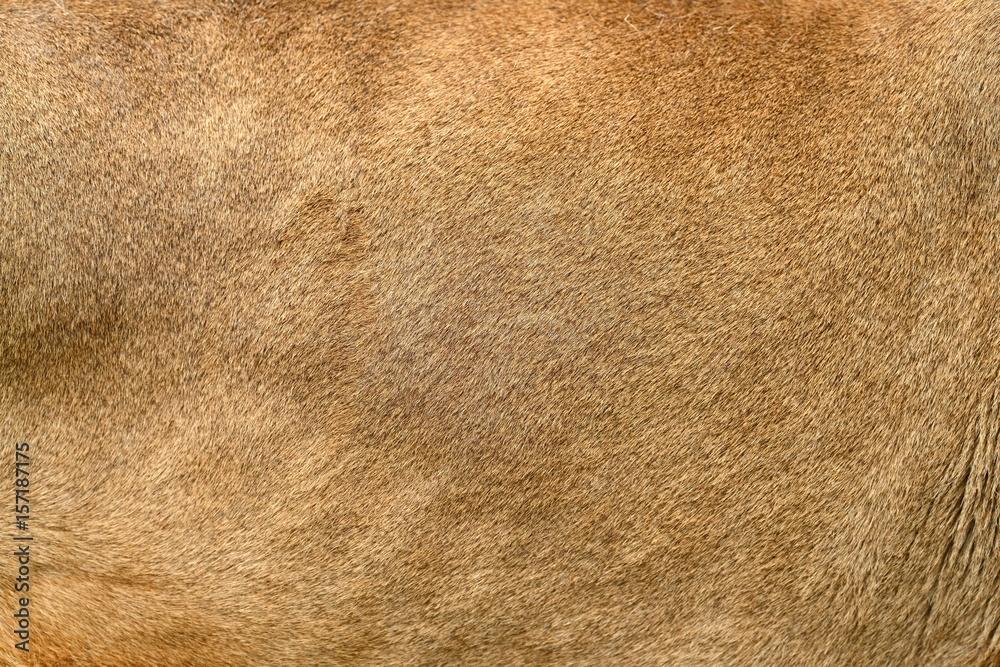 Fototapeta Real lion skin texture