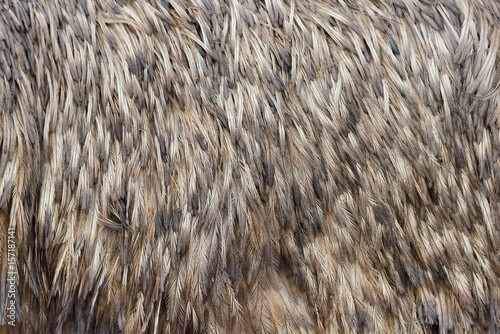 Feathers texture of a ostrich