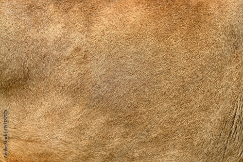 Real lion skin texture