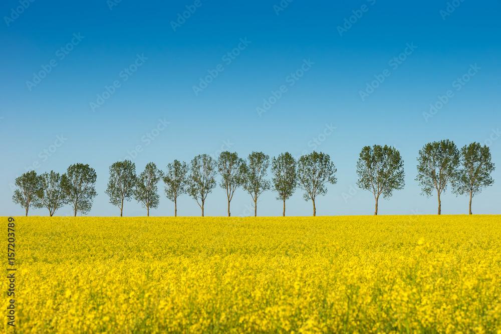 Fototapety, obrazy: Wiosenny krajobraz, pole rzepaku