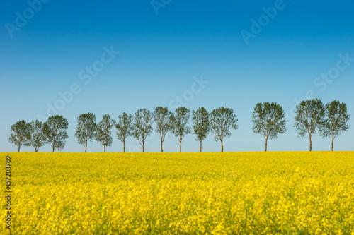 Obraz Wiosenny krajobraz, pole rzepaku - fototapety do salonu