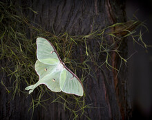 Luna Moth On Mossy Tree