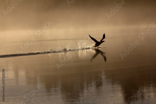 Spring landscape with Loon.