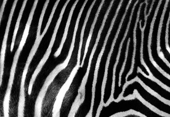 Fototapeta na wymiar Black and white zebra skin with space for text.
