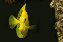 Yellow Tang Frontal View Showing One Of The Fins Looking Elegant Next To The Live Rock In Reef Tank