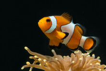 False Percule Clown Fish Above...