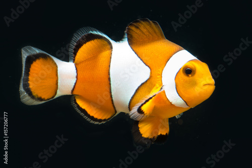 Fototapeta True percula isolated and posing in front of black background in exotic saltwate