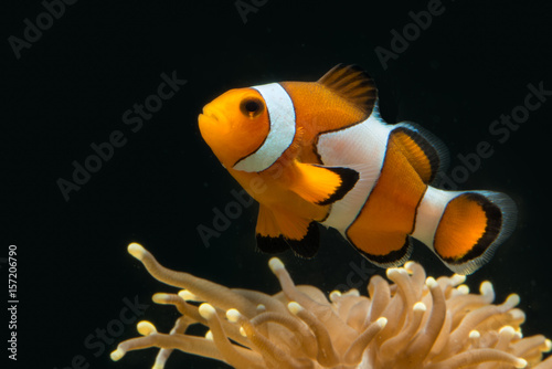 Fototapeta False percule clown fish above its host coral looking uup with red vibrant color