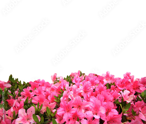 Poster Azalea Pink rhododendron flower with copy space background