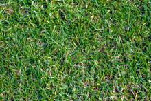 Green Buffalo Grass