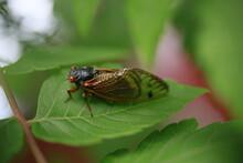 Early Brood X Cicada On A Leaf