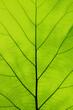 Tectona grandis leaves with beautiful natural pattern