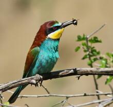 European Bee-eater, Merops Api...