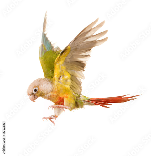 flying Green-cheeked parakeet