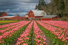 Rows Of Bright Tulips In A Fie...