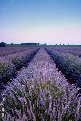 In de dag Lavendel Purple lavender beauty