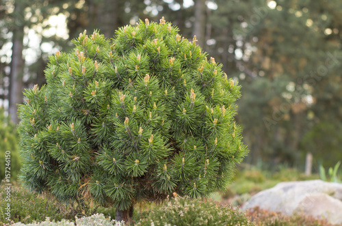 Dwarf globular pine, close up
