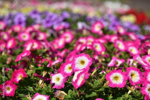Foto op Canvas Roze カラフルなペチュニア
