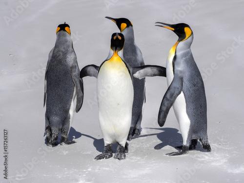 Papiers peints Pingouin King Penguin Group, Aptenodytes patagonica, on the white sandy beach of Volunteer Point, Falklands / Malvinas