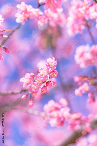 Fotografie, Obraz  view beautiful Wild Himalayan Cherry Cherry Blossom Thailand in Chiang Mai