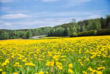 A Field Of Dandelions Under A ...