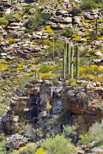 Saguaro Cacti Stand On Rocky L...