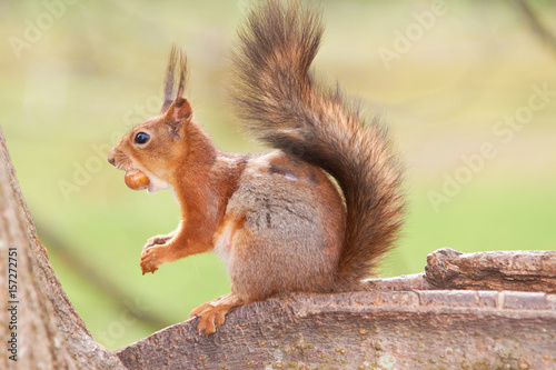 Tuinposter Eekhoorn Red squirrel tries to split the nut