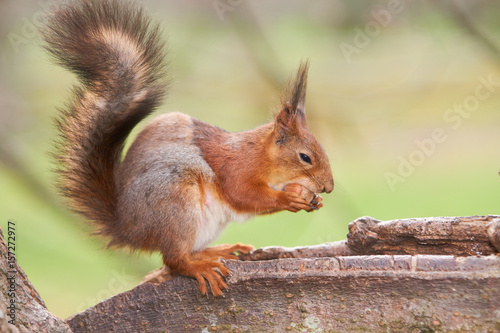 Aluminium Prints Squirrel Red squirrel tries to split a nut with her teeth