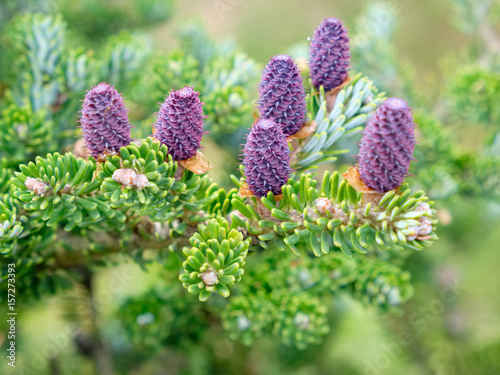 Corean fir - Abies koreana Select. Cones and branches close up. Canvas Print