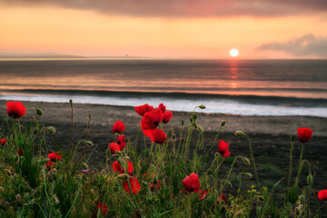 Naklejka Seascape with poppies Magnificent sunrise view with beautiful poppies on the beach near Bourgas, Bulgaria