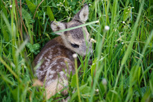 Young Deer Lying On A Meadow. Summer Fauna And Flora