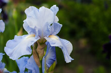 Beautiful Blue Iris Flower On ...