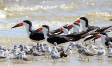 Oystercatchers And Sanderlings...