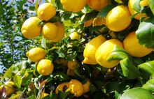 Ripe Lemons Hanging On A Tree ...