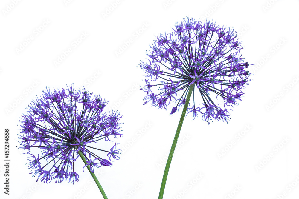 Fototapety, obrazy: alium flowers looks like dandelion flowers with water drops on a white background