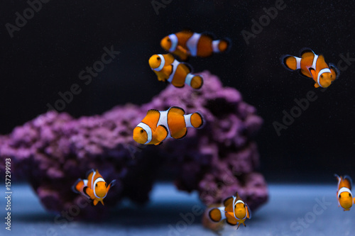 Fotografie, Tablou  Clown fish