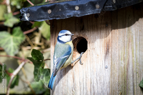 Photo Blue tit at a birdhouse
