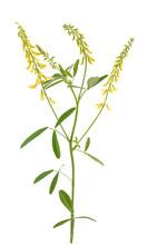 Yellow Melilot Plant